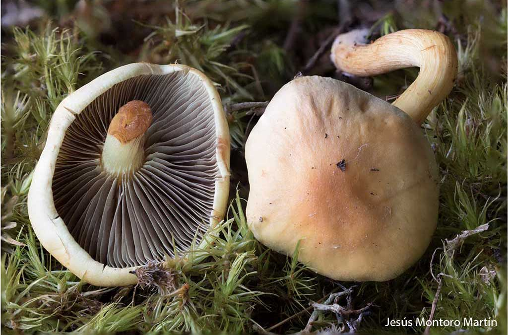1a Hypholoma fasciculare 9 Manquillos